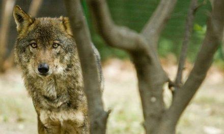 Queda prohibida la caza de lobo en todo el territorio español